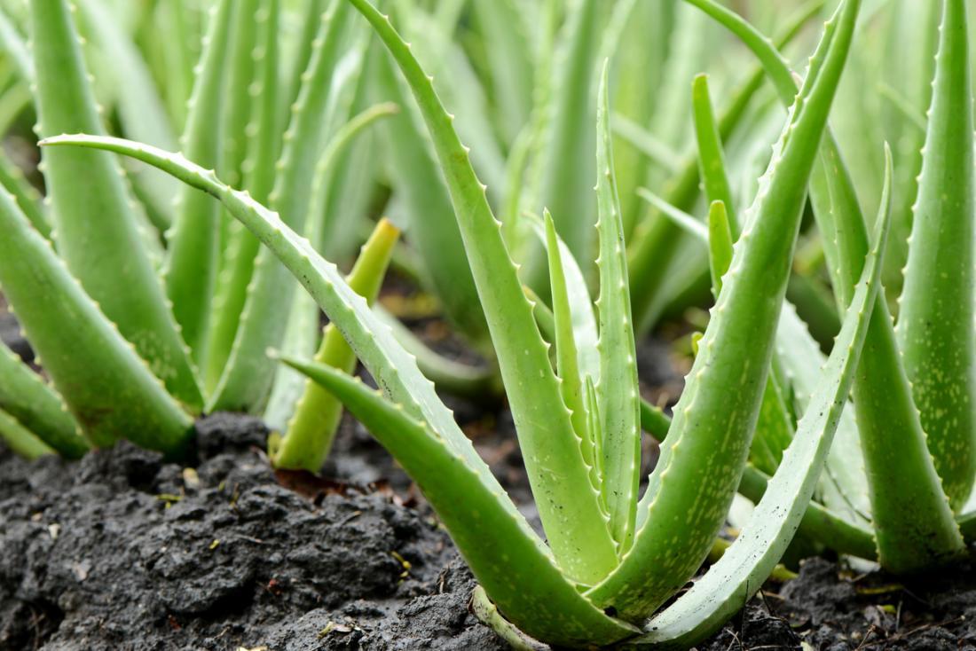 Aloe vera poate fi folosita pentru ameliorarea inflamatiilor
